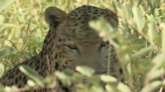 Leopard in marula tree Stock Footage