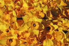Daffodils as background - stock photo