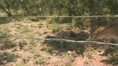 Female lion charge Stock Footage