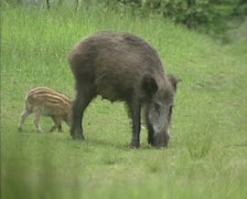 Wild Boar (sus scrofa) sow with offspring forage in field Stock Footage