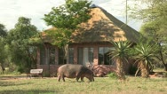 Stock Video Footage of hippopotamus feeding infront of lodge