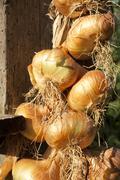 Organic onion bunch closeup - stock photo
