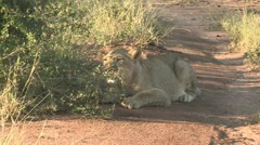 Young lion stalking Stock Footage