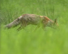 Red fox (vulpes vulpes) hunts in field - low angle - solitary hunter Stock Footage