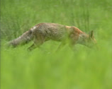 Stock Video Footage of Red fox (vulpes vulpes) hunts in field - low angle - solitary hunter