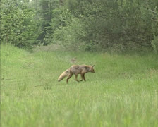 Red Fox (vulpes vulpes) in open open area at forest edge Stock Footage