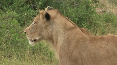 Injured lioness Stock Footage
