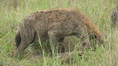 Hyena eating a rhino carcass Stock Footage