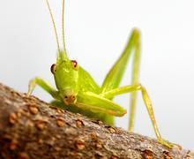 katydid preening - stock photo
