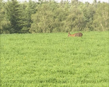 Roe Deer buck (capreolus capreolus) foraging in field at forest edge Stock Footage