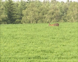 Stock Video Footage of Roe Deer buck (capreolus capreolus) foraging in field at forest edge