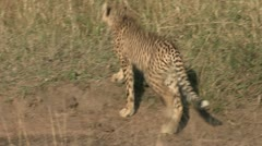 Young cheetah in grass Stock Footage