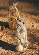 two meerkats - stock photo