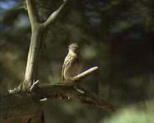 Tree Pipit (Anthus trivialis) with insect on tree branch and flies away Stock Footage