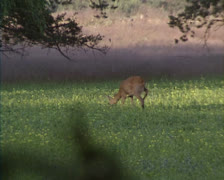 Roe Deer  (capreolus capreolus) foraging in evening sun Stock Footage