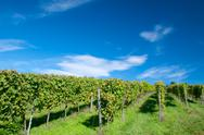 Vineyard in germany Stock Photos