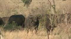 buffalo herd grasing with calfs - stock footage