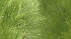 Wind over grass - green wheat field 02 Stock Footage