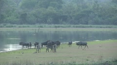 blue wildebeest and waterbuck herd at dam - stock footage