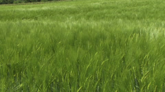 Wind over grass - green wheat field 01 Stock Footage