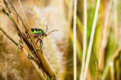 jewel bug - stock photo