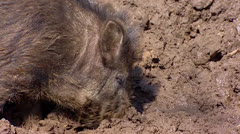 European wild boar (sus scrofa)  in mud - close up Stock Footage