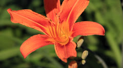 Bright orange lily flower close-up Stock Footage