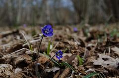 Common hepatica in forest Stock Photos