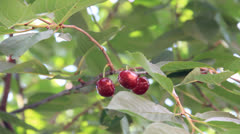 Cherry tree branch with fruit light swing on the wind Stock Footage