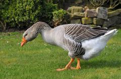 Greylag goose walking on grass - stock photo