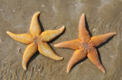 Two starfish on sand - stock photo