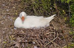 White goose on its nest - stock photo