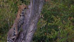 Leopard slowly moving higher into tree Stock Footage