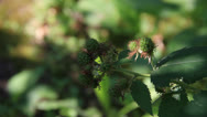 Stock Video Footage of Raspberries green fruits close