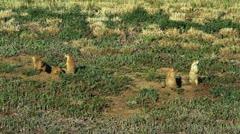 Prairie Dogs on Alert Stock Footage