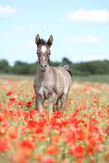 Arabian foal running in red poppy field Stock Photos