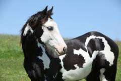 paint horse stallion - stock photo