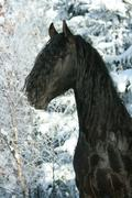 Lovely friesian stallion with snowy tree Stock Photos