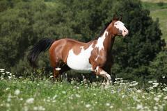 Running paint horse Stock Photos