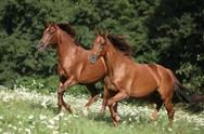 Two brown horses running Stock Photos