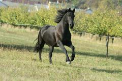 Running friesian horse Stock Photos