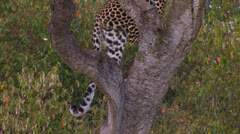 Leopards tail in tree Stock Footage