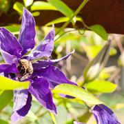 Clematis in bloom Stock Photos