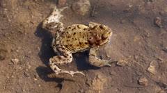 European toad (Bufo bufo) in water Stock Footage
