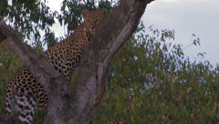 Leopard in tree pan from tail to head Stock Footage