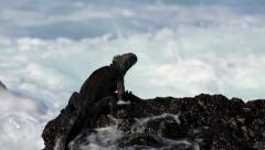 Marine iguana Galapagos Islands Stock Footage