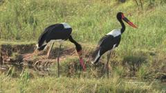 Saddle billed stork Stock Footage