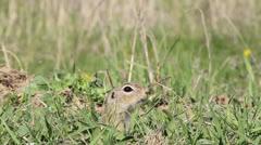 Beautiful european ground squirrel near his hole / Spermophilus citellus Stock Footage