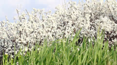 Green grass and white flowers spring scene Stock Footage