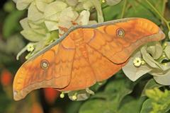 Silk moth (antheraea frithi) Stock Photos